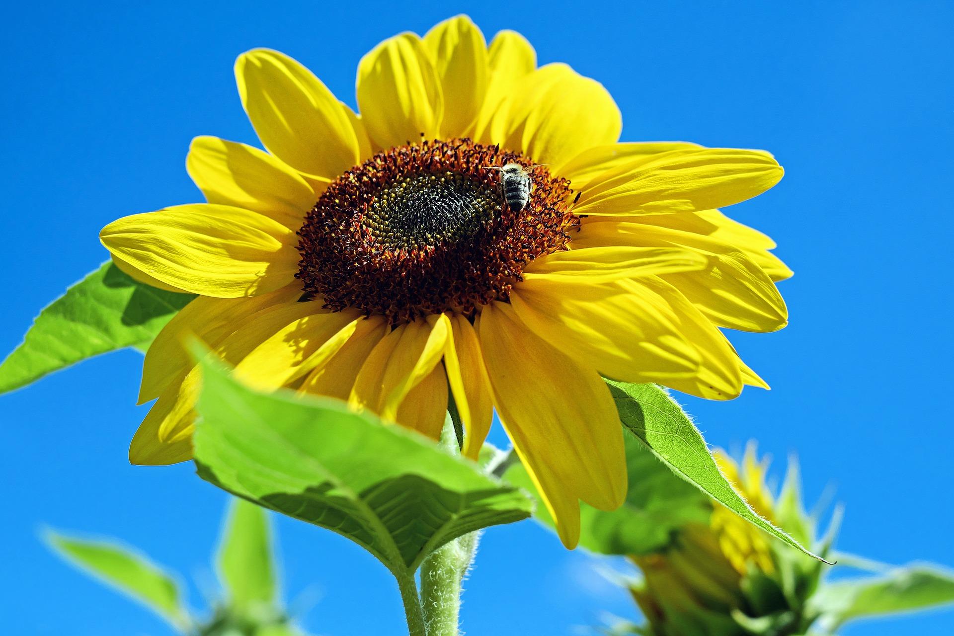 sun-flower-1497092_1920-0exif