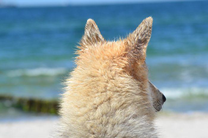 Hund blickt aufs Meer
