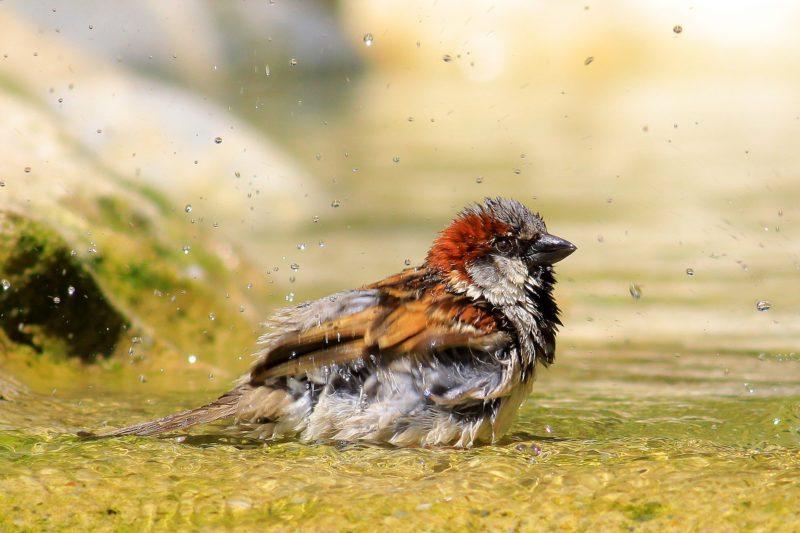 Duschender Vogel
